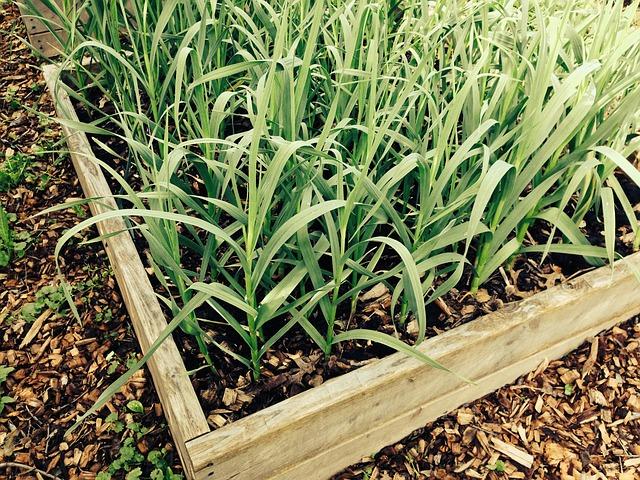 Sázení česneku, jak ho správně zasadit?